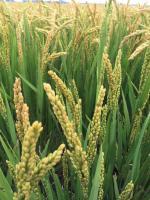 渔猎原田稻米